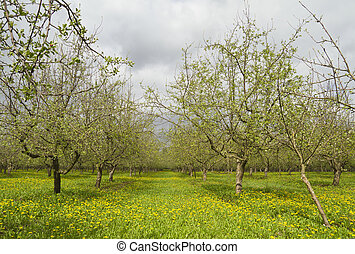 apple tree, spring