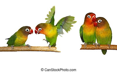 Lovebird isolated on white Agapornis fischeri Fischers...