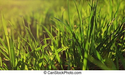 Spring scene with grass at sunset