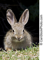 Baby Cottontail Rabbit - a cute young cottontail rabbit...