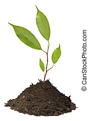 Young tree growing in soil isolated