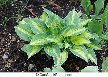 Hosta leaves - Hosta growing in a garden