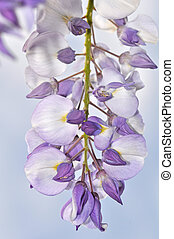 Purple wisteria flowers