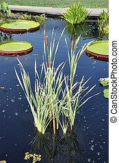 Santa Cruz Cattails Corndog Grass
