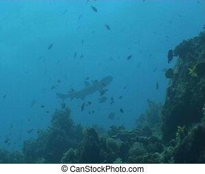 shark underwater diving video