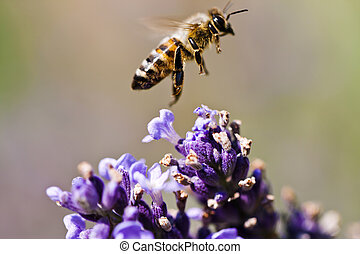 bee on purple flowers - Bee departing from the small purple...