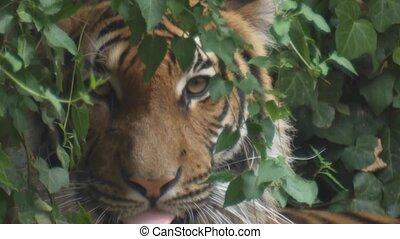 tiger,  sibirian