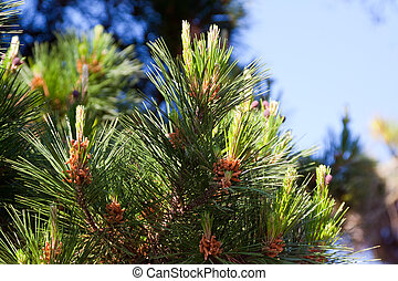 Branches of  pine tree