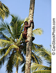 The man on a palm tree - The man climbs on a palm tree, for...