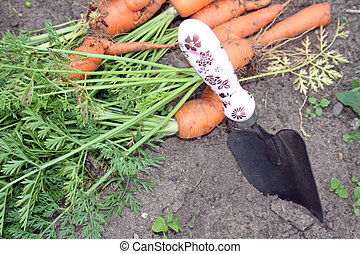 home grown carrots - home grown fresh carrots