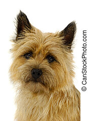 Face of cairn terrier dog isolated on white background