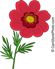 Flower adonis - Vector, red flower adonis with green leaves,...