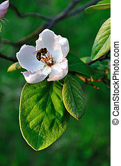 Quince bloom and bee