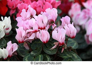 Flower-bed of cyclamen