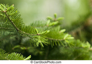 spruce twig on green background