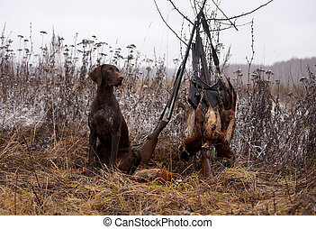 hunting dog - a gun dog sitting near to pheasants and shots