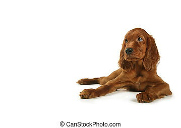 puppy setter - a puppy of a setter lies on a white...