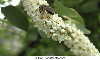 bee - cherries on her bee