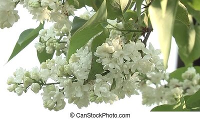 Lilac, - Lilac syringa in the garden