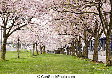 Cherry Blossom Trees in Waterfront Park Portland Oregon