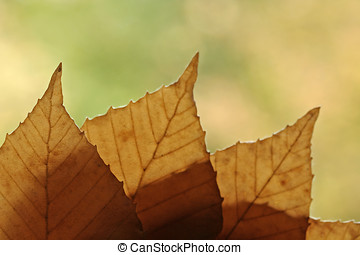 Backlit Fall Leaves - These fall leaves are ready to embrace...