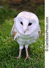 Barn owl bird of prey in falconry display - Falconry display...