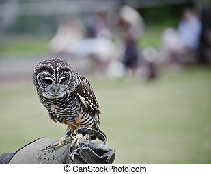 Timid chaco owl bird of prey during falconry display -...