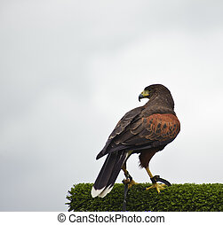 Harris hawk bird of prey during falconry display - Falconry...
