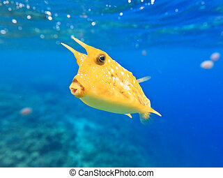 Longhorn cowfish - A longhorn cowfish (Lactoria cornuta)...