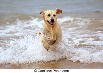 Dog running in water - A beautiful young wet thoroughbred...