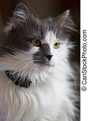 Turkish Angora mixed with Persian breed cat - White and gray...