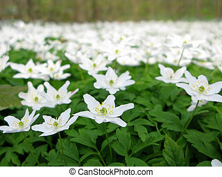 wood anemone - anemone nemerosa in detail with flower and...