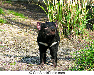 Tasmanian devil, sarcophilus harrisii, seen from the front