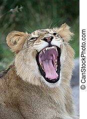 Lion Mouth and Teeth - Young lion in the wild with mouth...