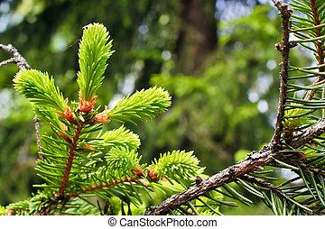 Fir tree bud