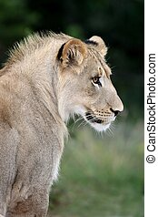 Lion Profile - Profile of a sub adult male lion in the wild