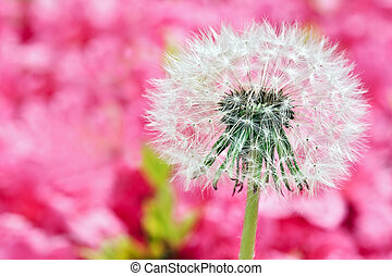 Dandelion on blurry pink background