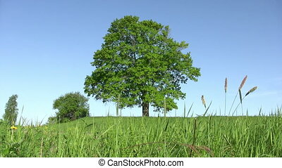 Solitary old tree - Summer landscape - lonely tree on green...
