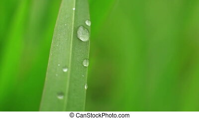 dew drops on fresh green grass.
