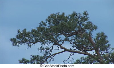 pine - upper pines swaying in the wind