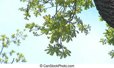 oak 1 - green oak tree in spring