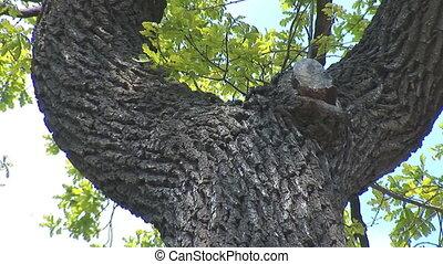 oak 2 - green oak tree in spring