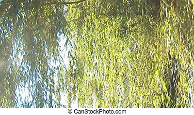 willow 1 - willow branches