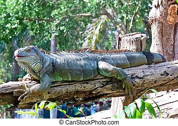 Iguana - Large iguanas basking in the sun