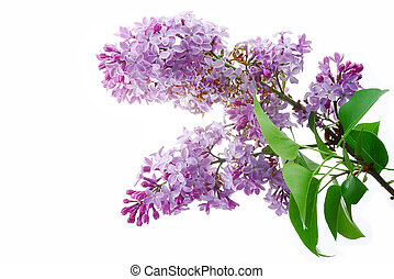 Lilac - Lilac flowers on a white background, isolated
