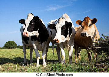 Cows - Two Fresian cows and a Jersey cow in a line