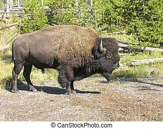 Yellowstone Fauna - Fauna in Yellowstone during Summer...