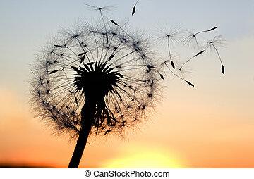 Dandelion - A Dandelion blowing seeds in the wind