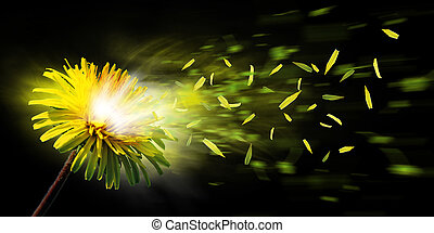 exploding dandelion - A nice yellow dandelion explode and...