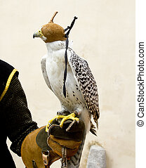 falconry falcon rapacious bird in glove hand leather blind...